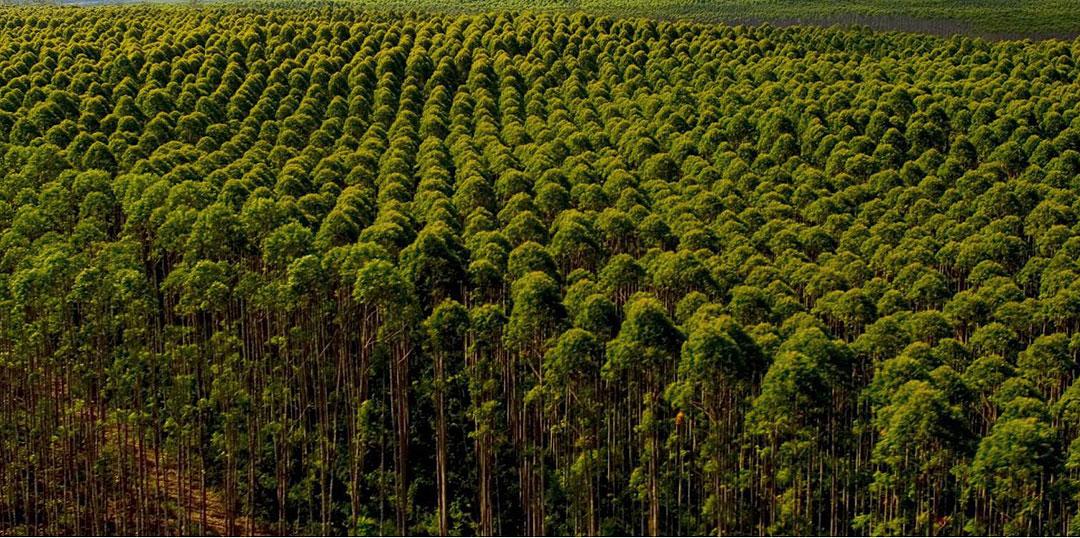 Madeira de reflorestamento Reforme Paletes